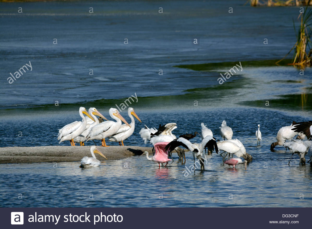 Group of White Pelicans on a Sandbar With  a Blue Water Background - Stock Image