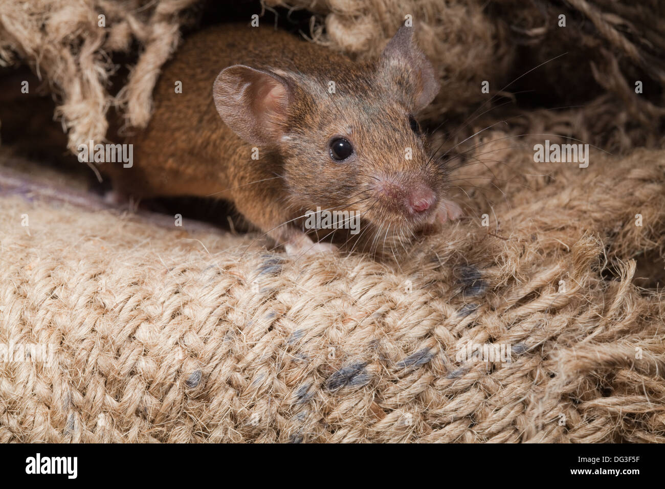 House Mouse (Mus musculus). Emerging from amongst hessian sacs. - Stock Image