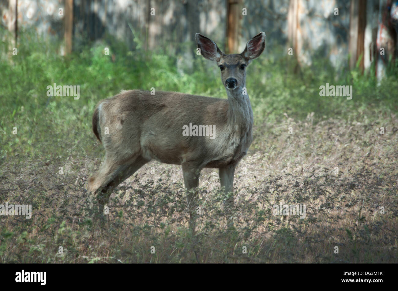 Doe Blacktail deer in a backyard,Yreka,California. - Stock Image