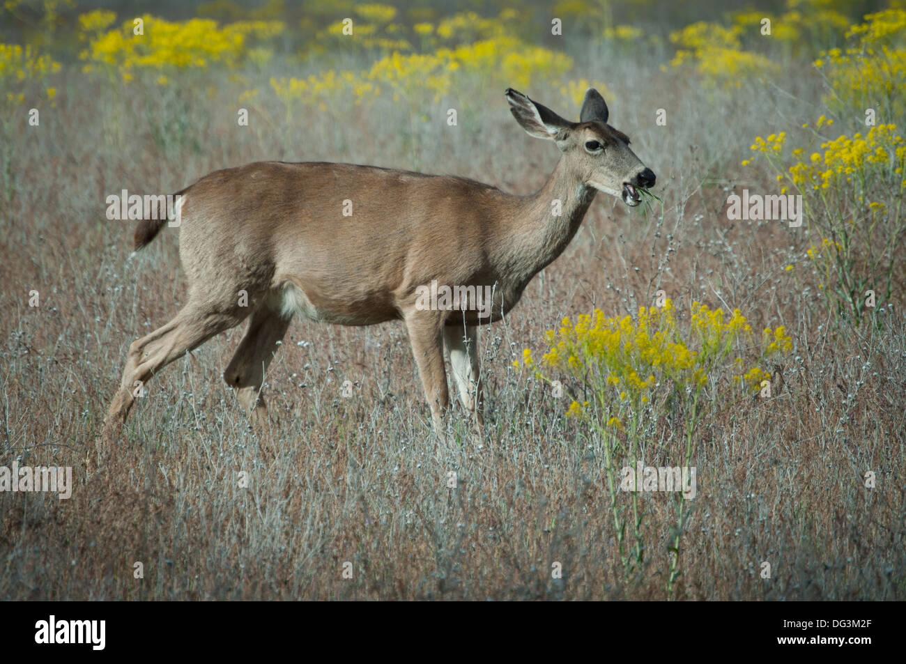 A Blacktail doe deer feeds in a field near Yreka,California. - Stock Image