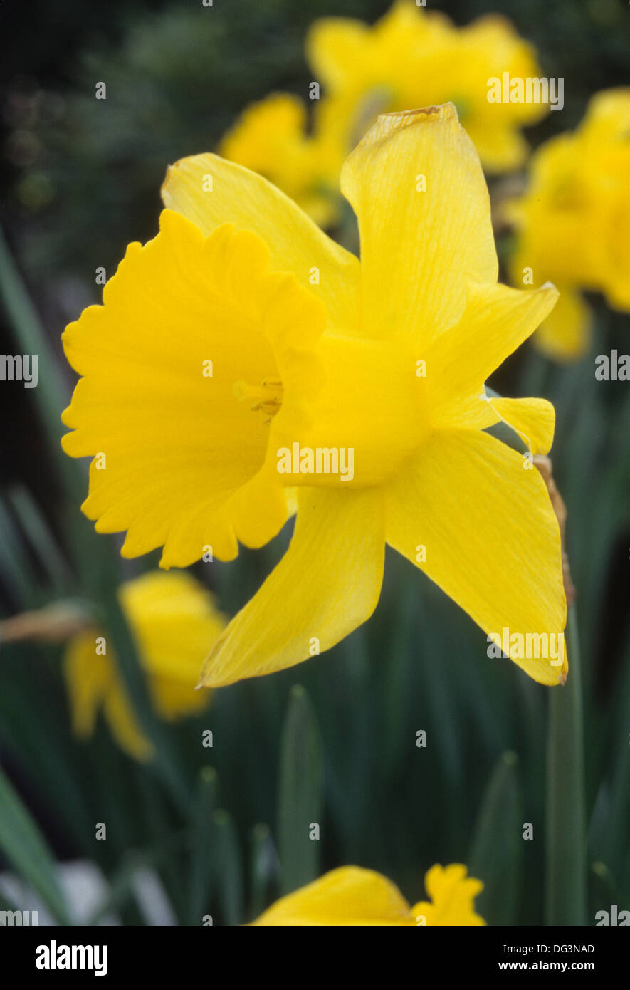 Daffodil, Bushs Pasture Park , Salem, Oregon - Stock Image