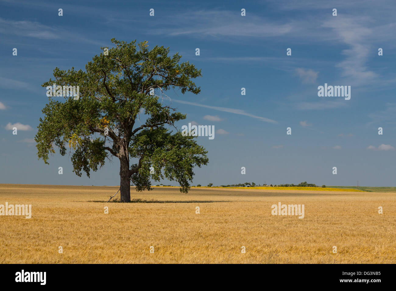 A ripe grain field and lone tree near Linton, North Dakota, USA. - Stock Image