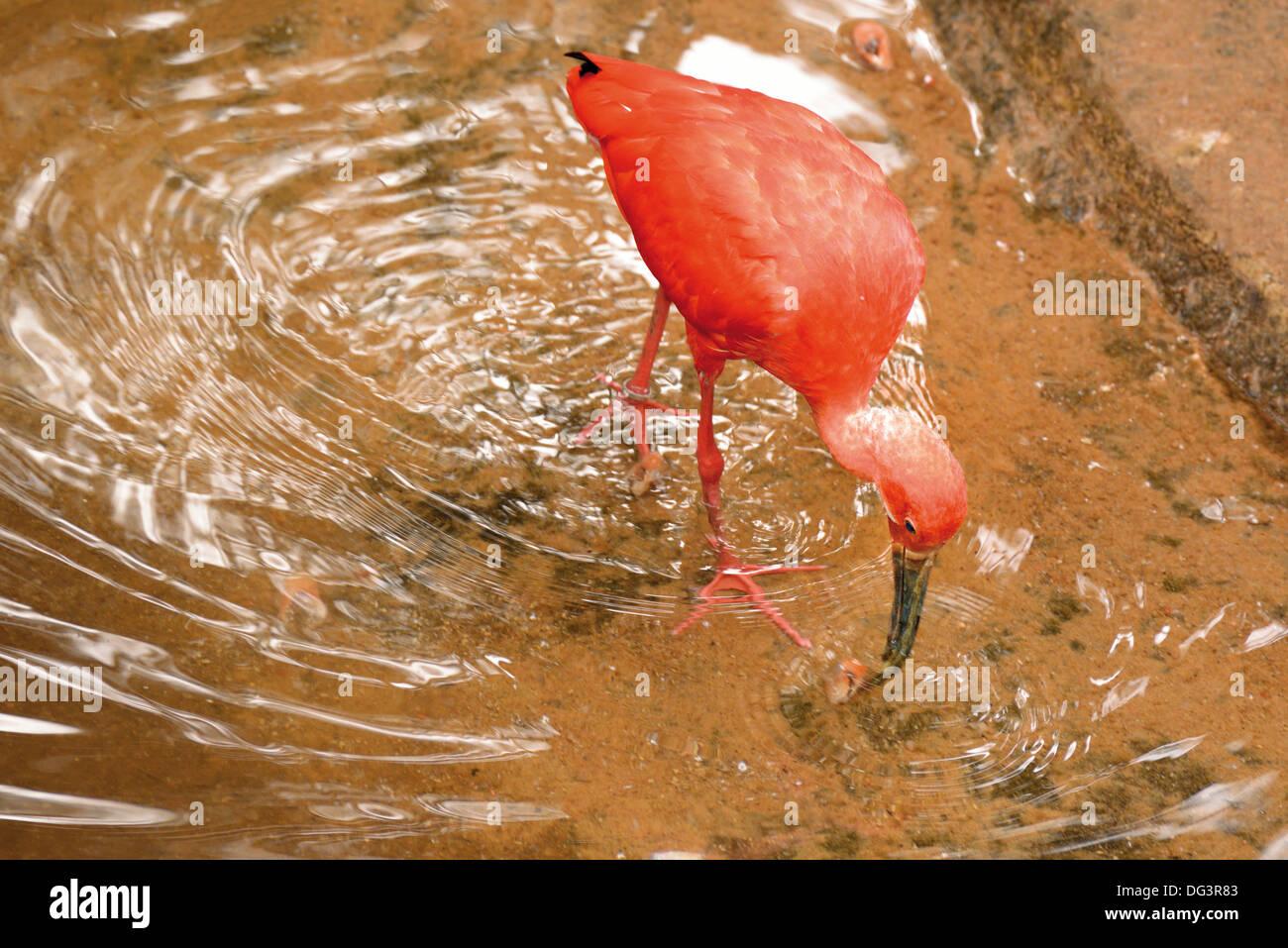 Brazil, Foz do Iguacu: Scarlet Ibis (Eudocimus ruber) in the bird´s refugee Parque das Aves - Stock Image