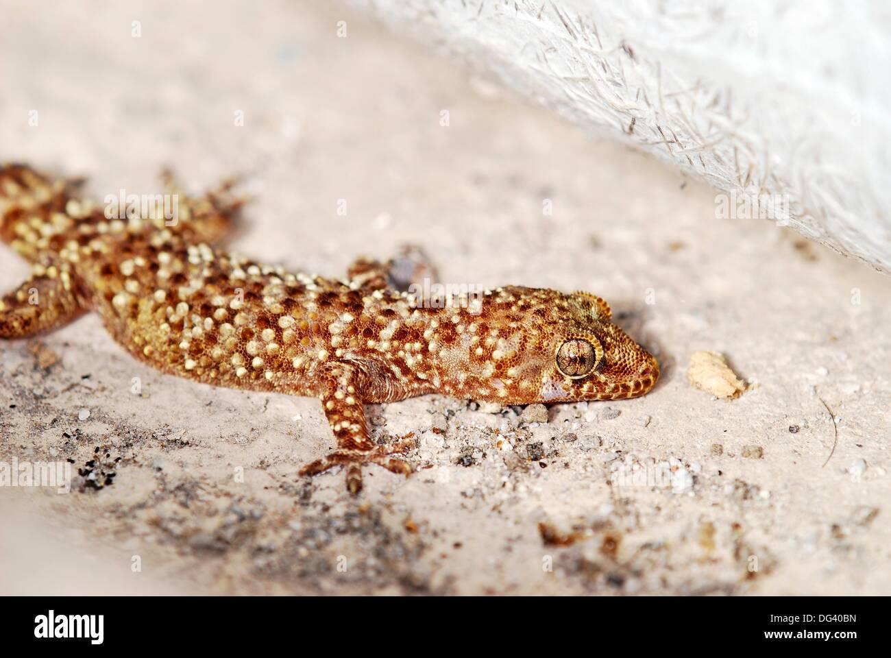 Mediterranean House Gecko, or more commonly Turkish Gecko Hemidactylus turcicus, Crete - Stock Image
