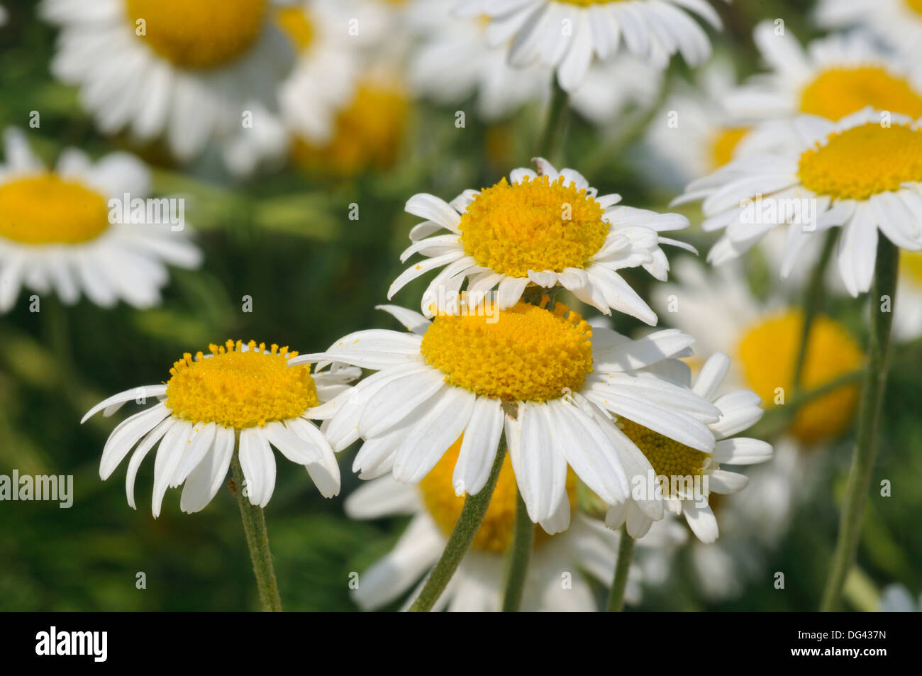 White Daisy Like Flower Stock Photos White Daisy Like Flower Stock