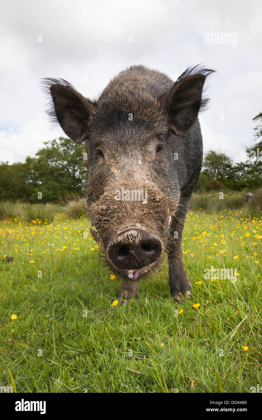 Wild boar (Sus scrofa), captive, United Kingdom, Europe - Stock Image