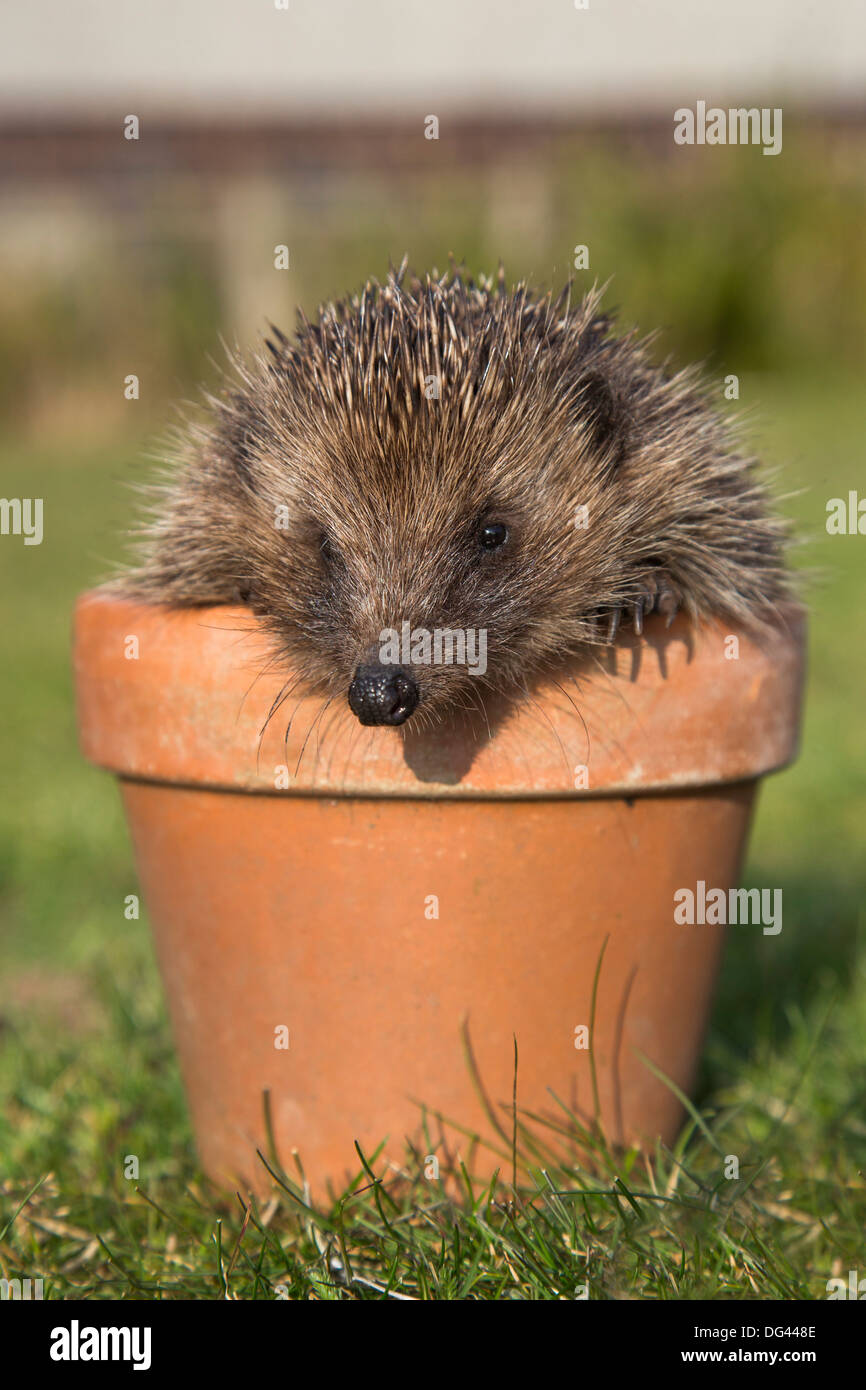 Hedgehog (Erinaceus europaeus), in plant pot, captive, United Kingdom, Europe - Stock Image