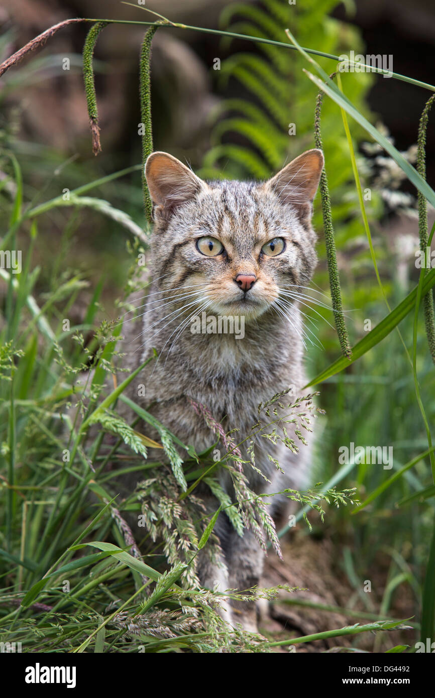 Scottish wildcat (Felis sylvestris), captive, United Kingdom, Europe - Stock Image