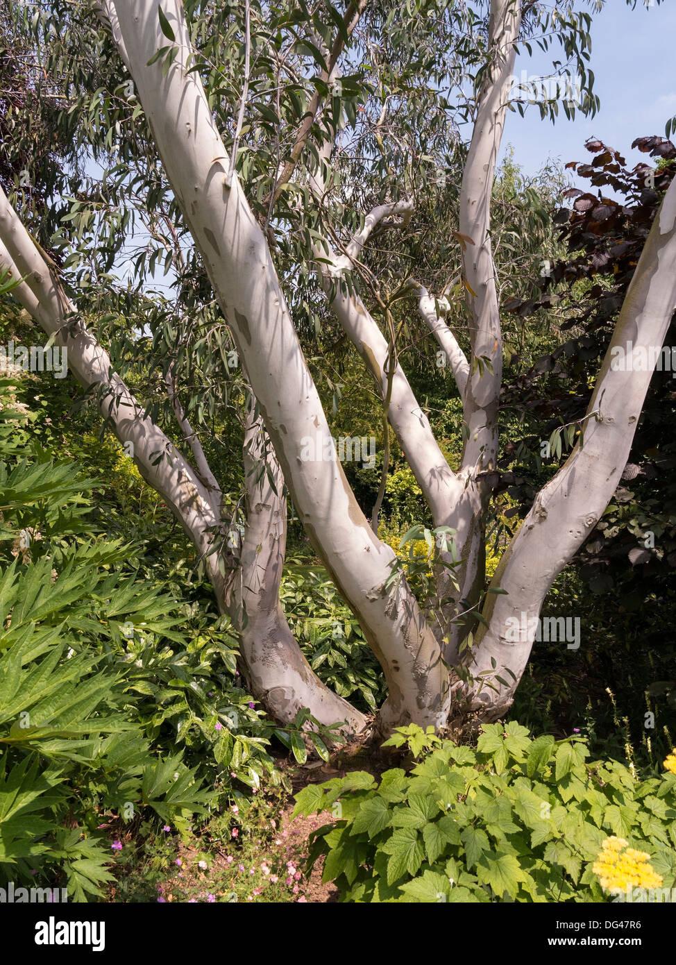 White bark and trunks of Eucalyptus Paciflora Niphophila tree growing in Barnsdale Gardens, Rutland, England, UK - Stock Image