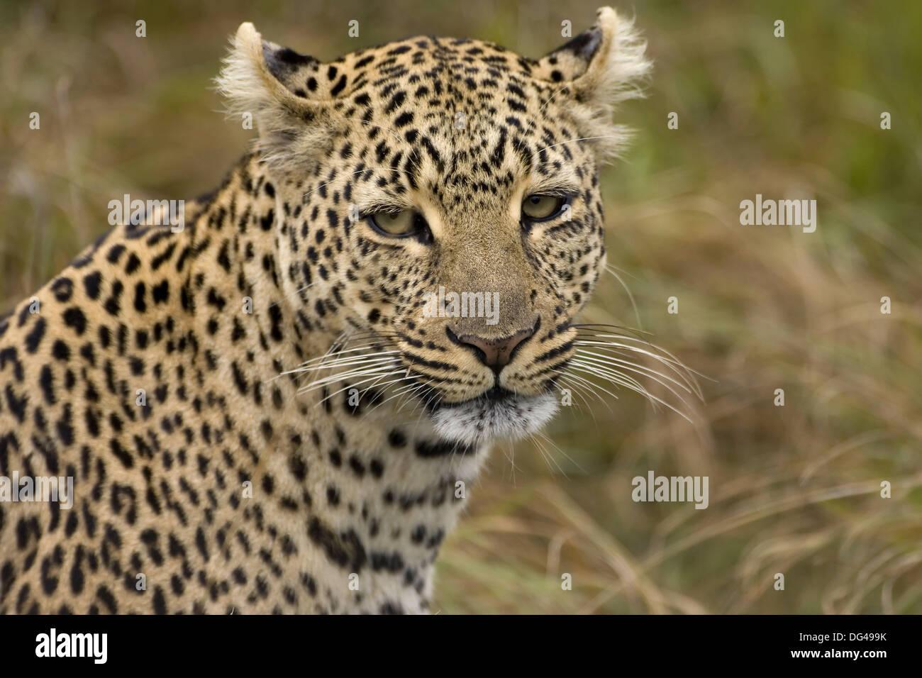 Leopard, Panthera pardus, Masai Mara, Kenya, East Africa, - Stock Image