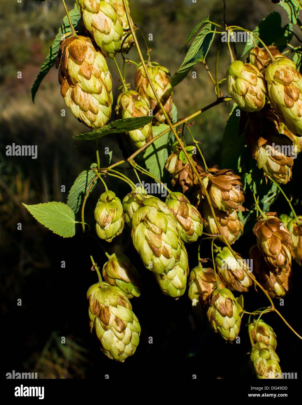 Sunlit hops - Stock Image