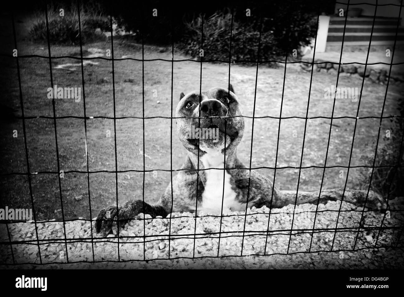 Perro peligroso mirando con cara de pena detras de una jaula Stock Photo