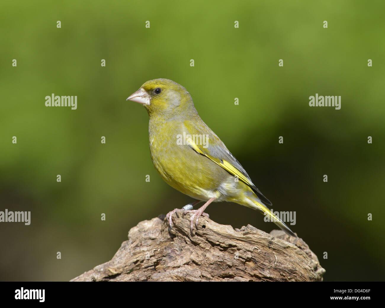 Greenfinch Carduelis chloris Stock Photo