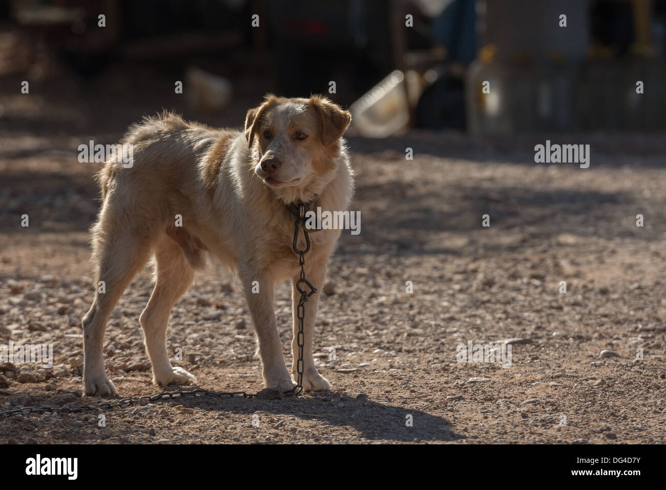 Large male dog chained up - Stock Image
