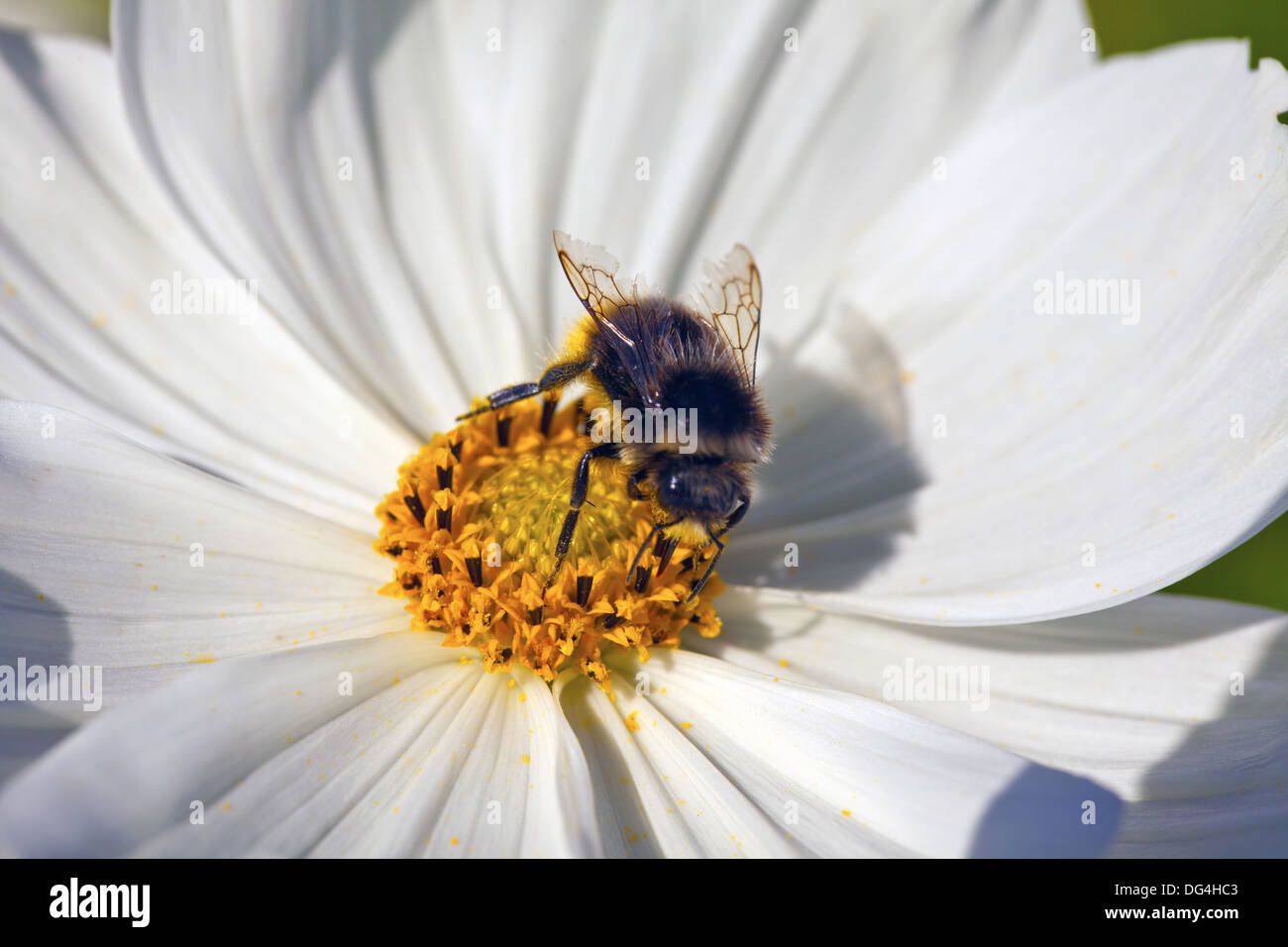 Close-up of a honey bee gathering nectar in the middle of a cosmos flower. - Stock Image