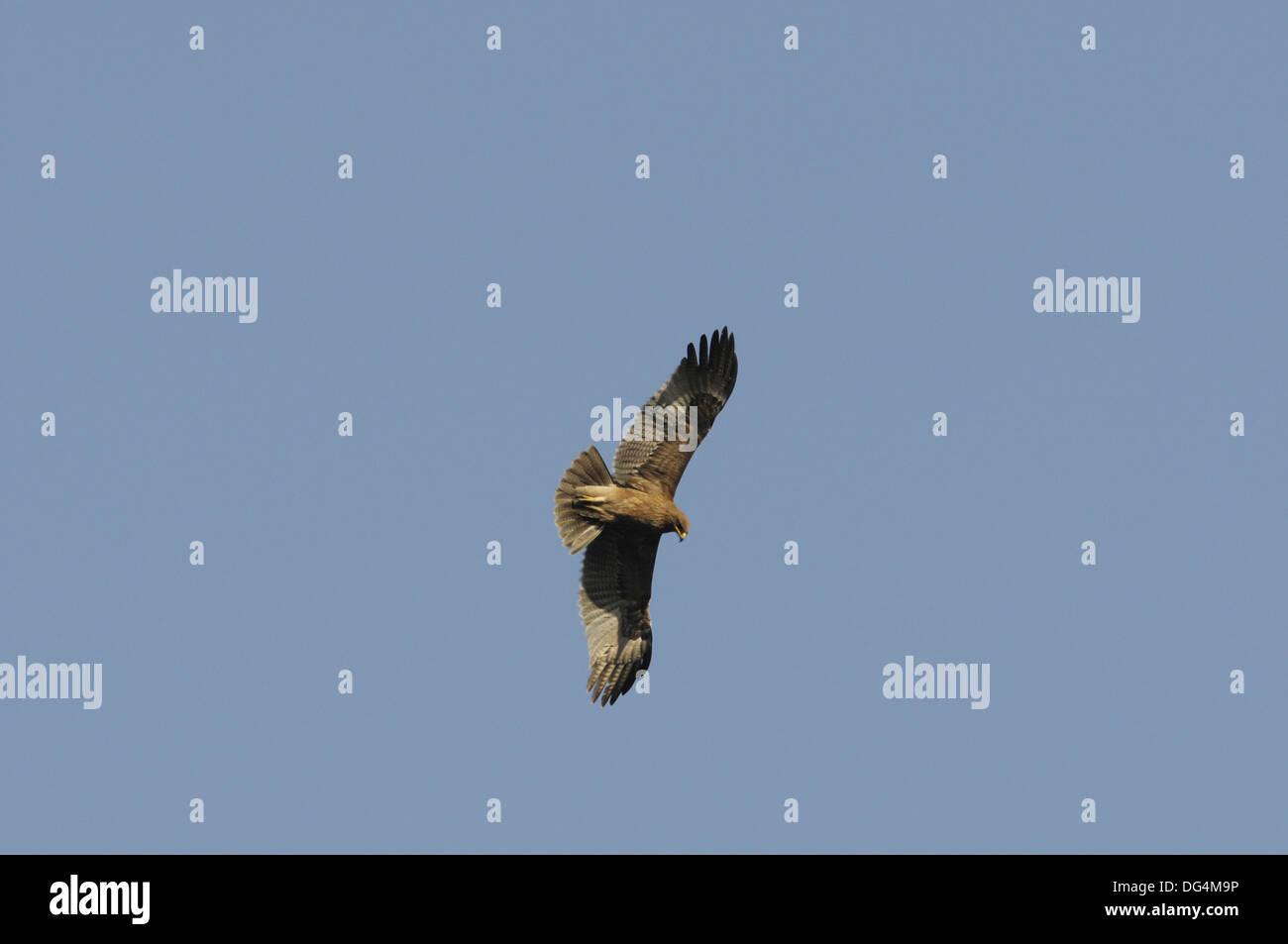 Booted Eagle - Hieraaetus pennatus - Stock Image
