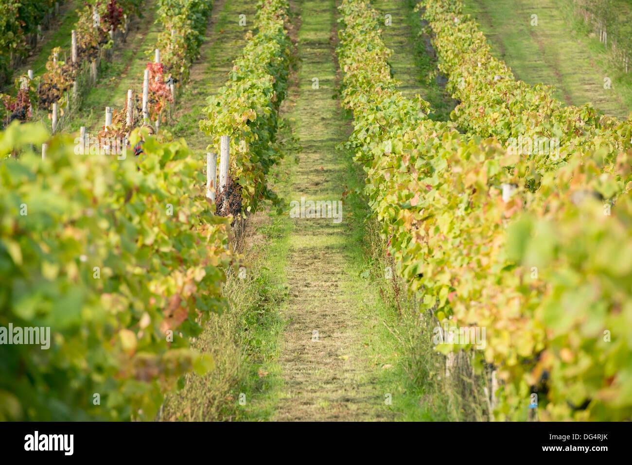 rows of grape vines at harvest time at the Stapley family run Redyeates Vineyard near Crediton, Devon Stock Photo