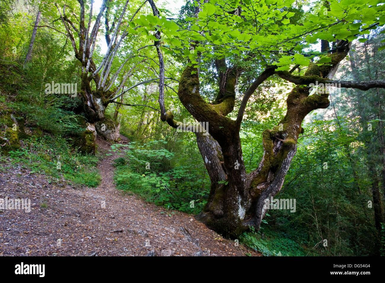Large-leaved Linden (Tilia platyphyllos), Hoz de Beteta Natural Monument, Ruta del Mimbre, Serrania de Cuenca, Cuenca Stock Photo