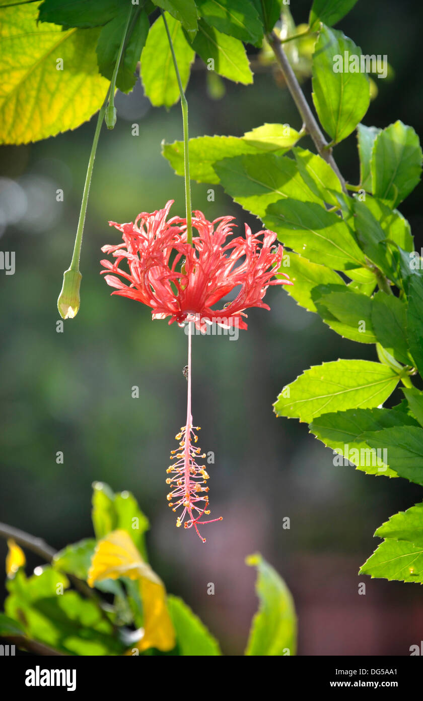 Hibiscus Schizopetalus Flower In A Thailand Garden Also Known As