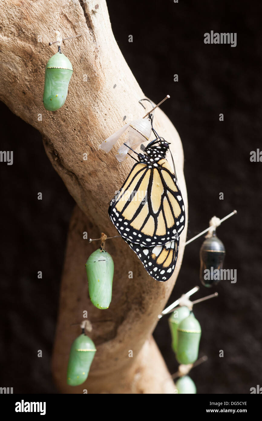 Newly emerged Monarch butterfly (Danaus plexippus) on empty chrysalis shell surrounded by unhatched butterflies - Stock Image