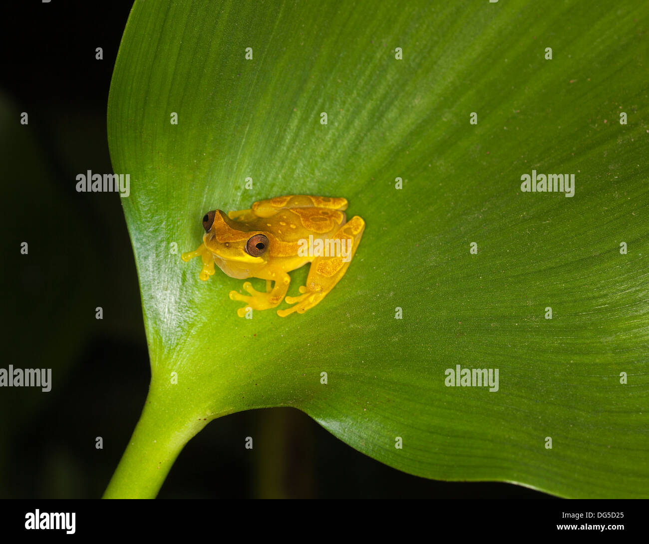 Golden Palm Tree Frog male (Dendropsophus ebraccatus) on pond leaf at night. Also known as Banana Frog, - Stock Image