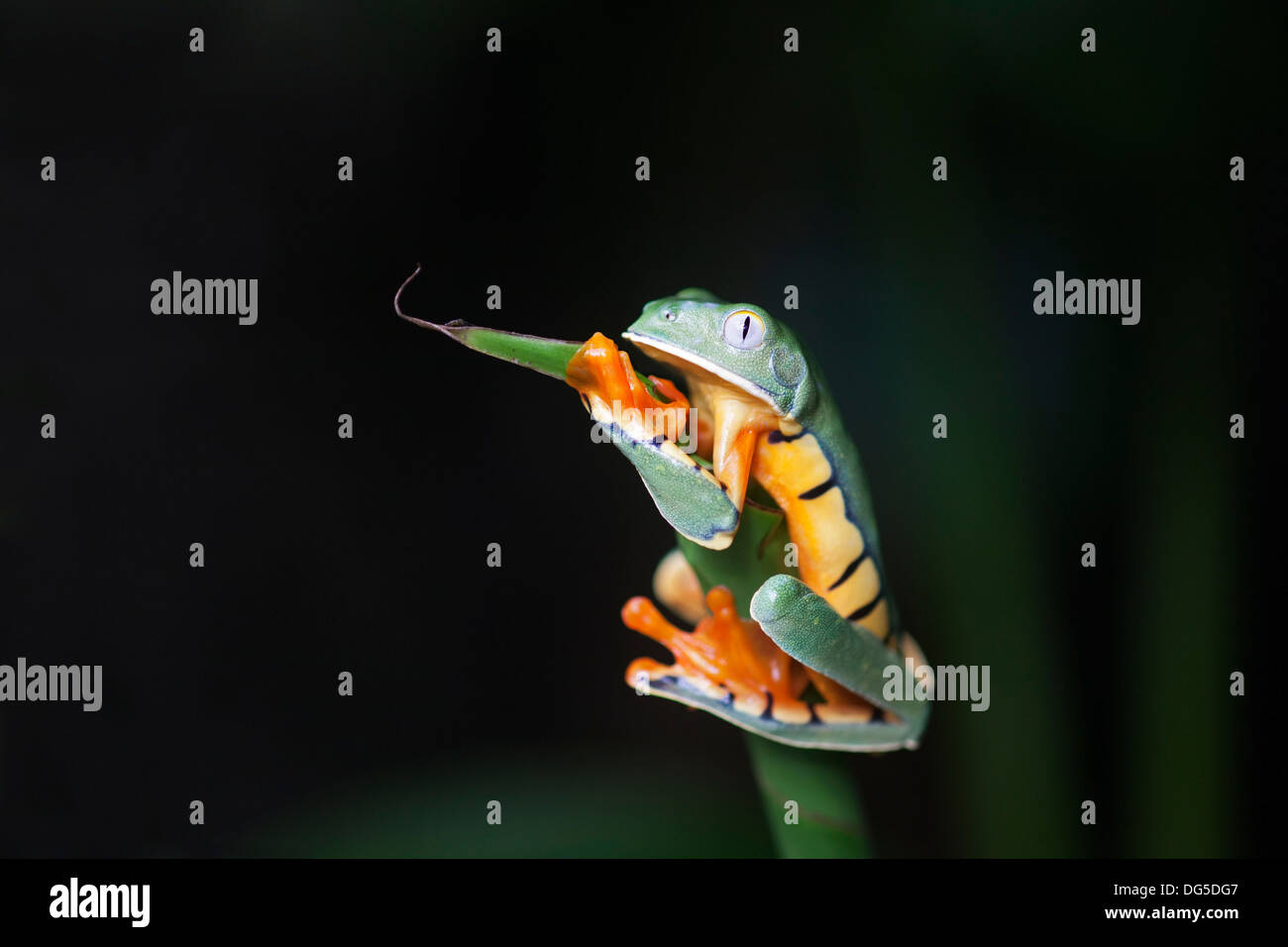 Golden-eyed Leaf Frog (Cruziohyla calcarifer) clinging to plant stem - Stock Image