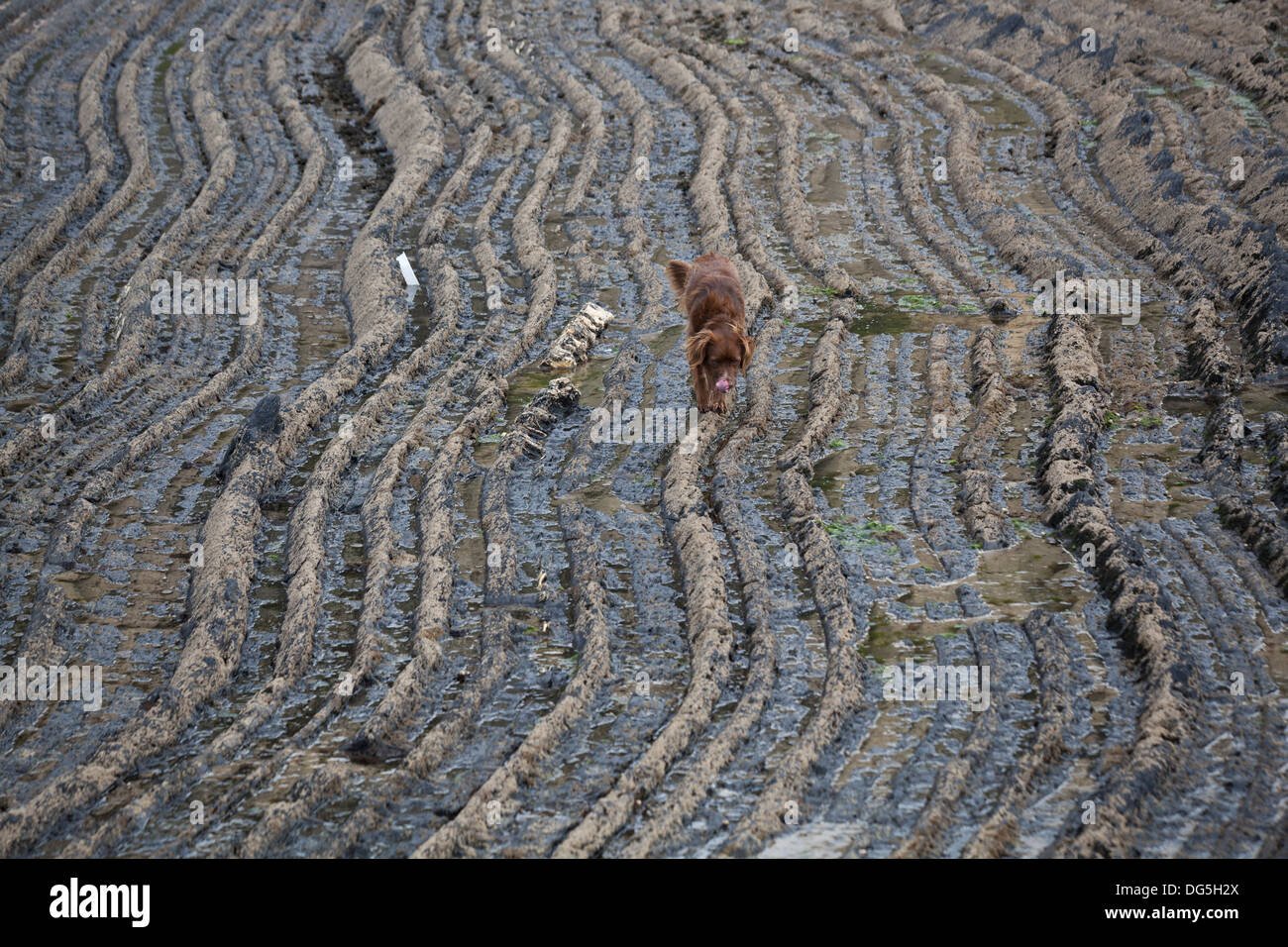 a pet dog walks long rock patterns on the coast in portugal - Stock Image
