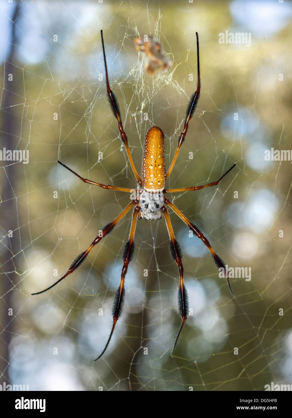 Female Golden silk orb-weaver / Banana spider ( Nephila clavipes ), Central Florida, USA - Stock Image