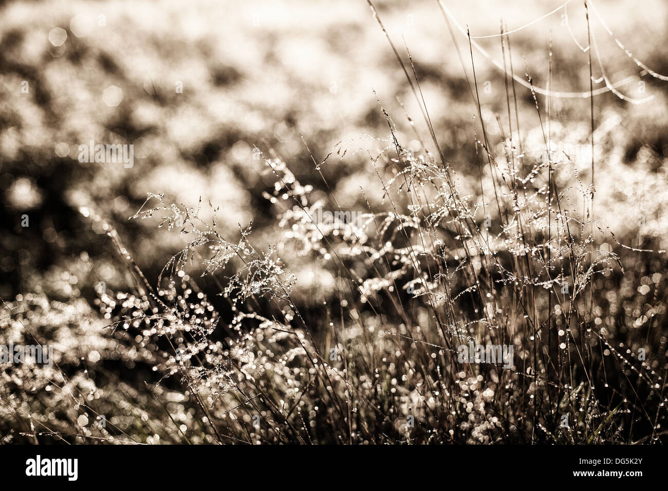 Misty early morning sunrise on backlit meadow dew webs and grasses Poa distans stand out on cold fresh autumn daybreak - Stock Image