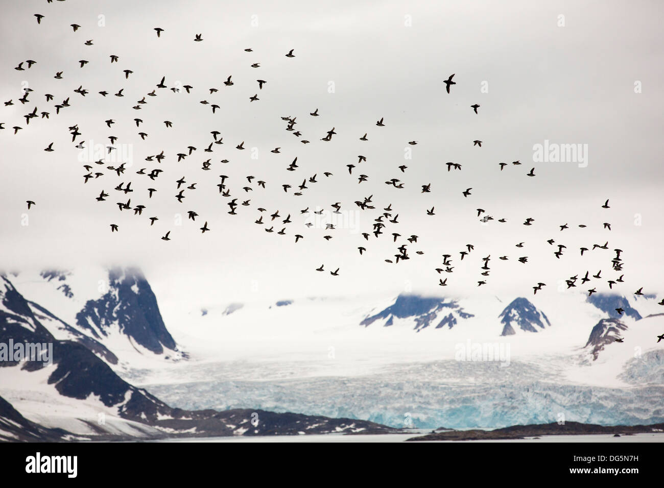 Little Auks Or Dovekie Alle At A Nesting Colony Sallyhamna 7951n 1123e On The North Coast Of Spitsbergen Svalbard