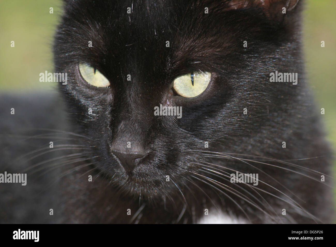 Close-up of black cat with yellow eyes - Stock Image