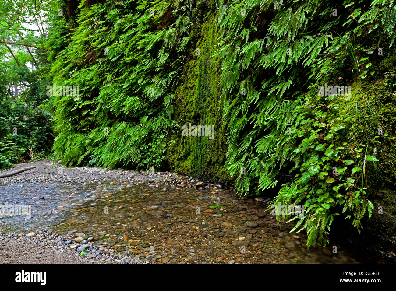 Home Creek flows past the fern and moss covered walls of Fern Canyon in Northern California's Prairie Creek Redwoods State Park. - Stock Image