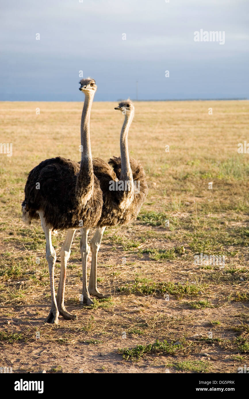 Ostriches in South Africa early in the morning somewhere on the Garden Road going to Durban - Stock Image