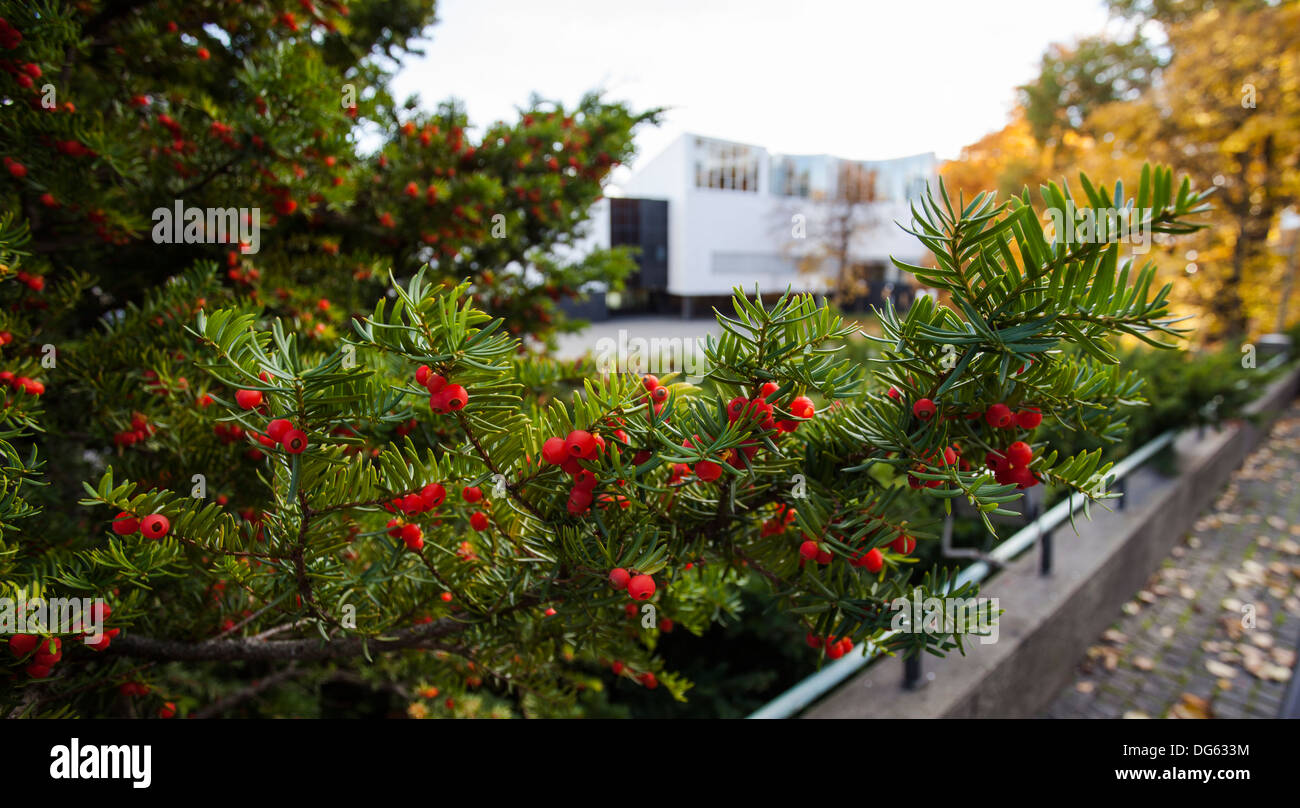 European yew berries (Taxus baccata) Stock Photo