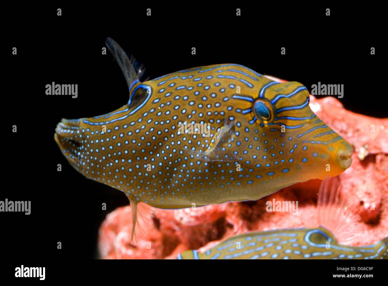 papuan toby, canthigaster papua Stock Photo