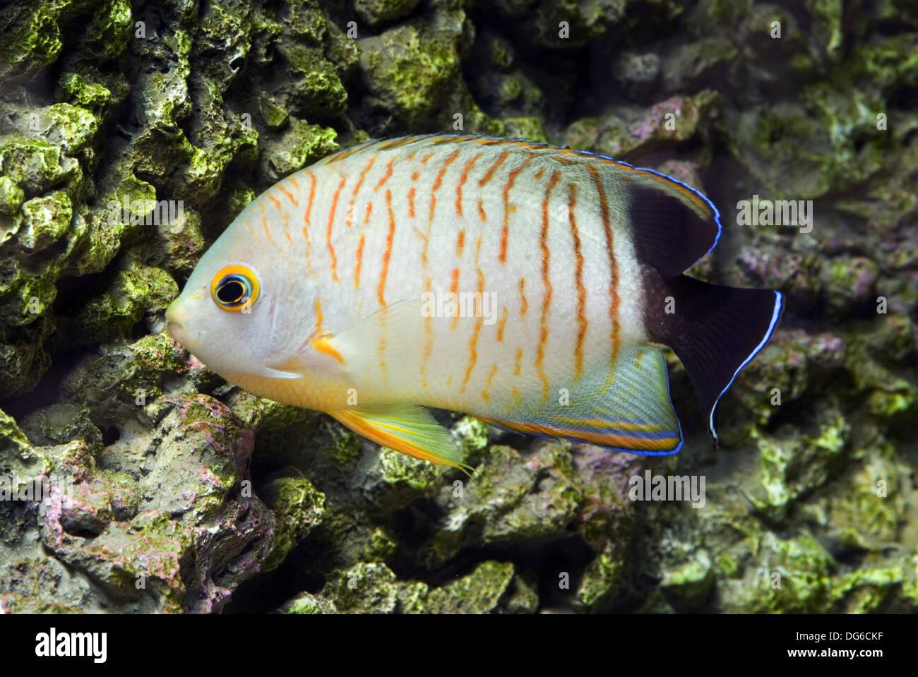 blacktail angelfish, centropyge eibli - Stock Image