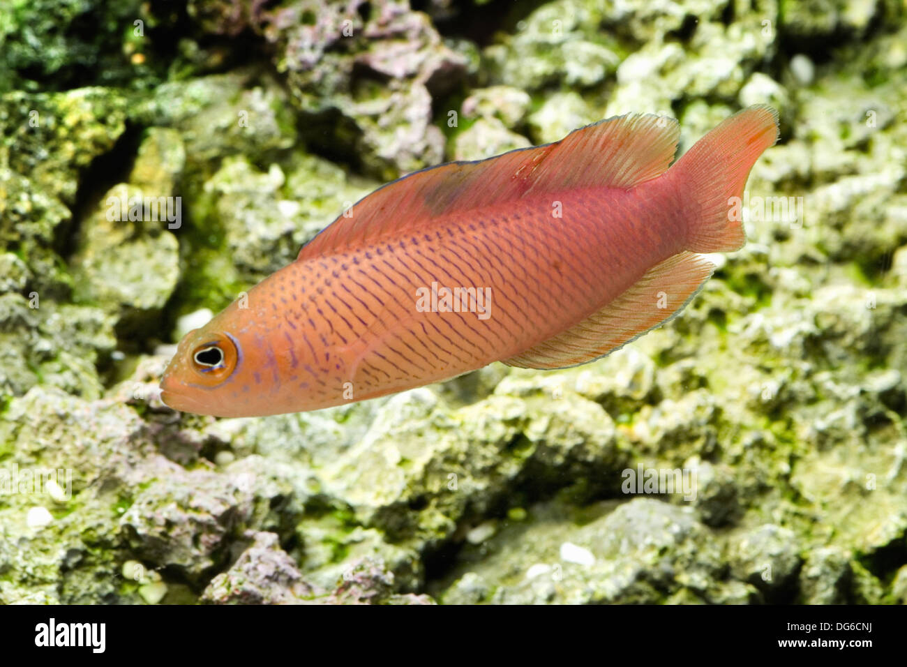 oblique-lined dottyback, cypho purpurascens - Stock Image