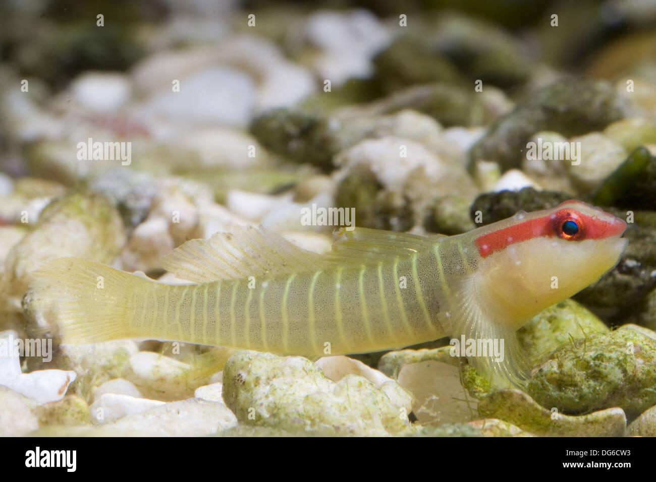 greenbanded goby, elacatinus multifasciatus - Stock Image