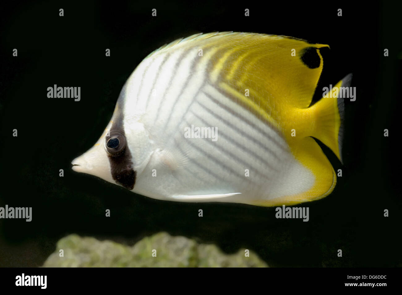 threadfin butterflyfish, chaetodon auriga - Stock Image
