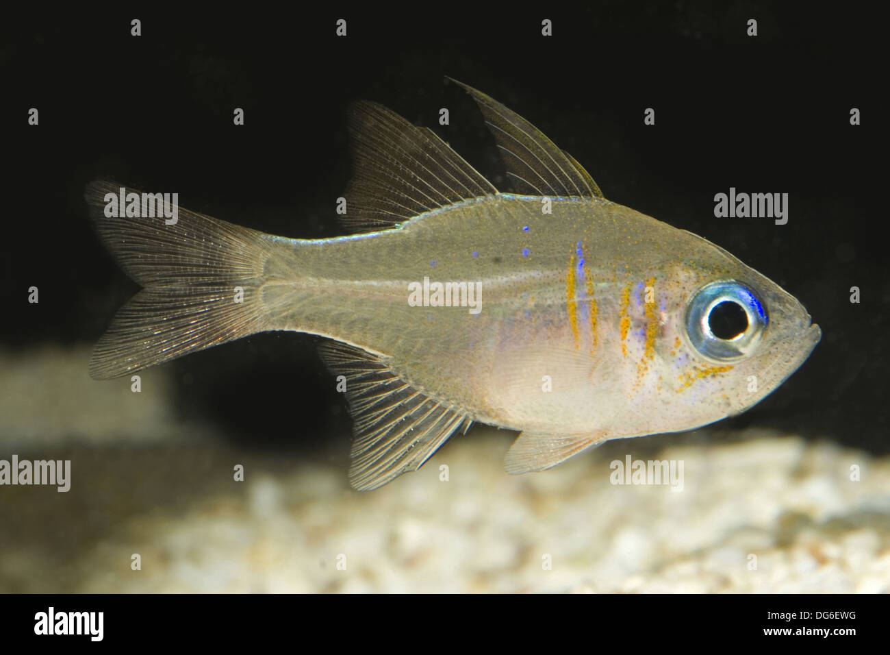 threadfin cardinalfish, apogon leptacanthus - Stock Image