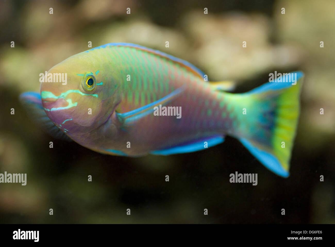 parrotfish, scarus psittacus - Stock Image