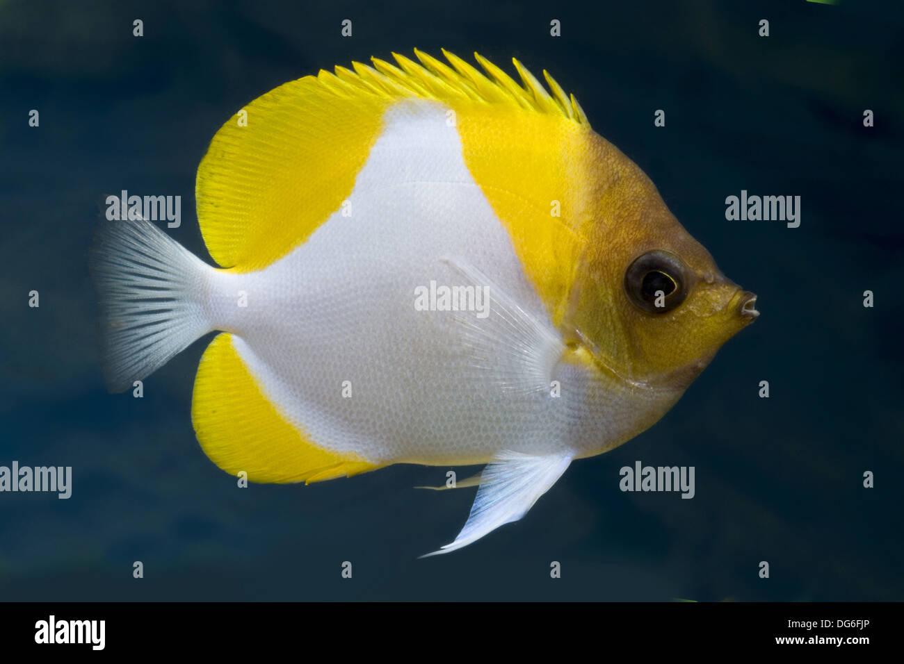 pyramid butterflyfish, hemitaurichthys polylepis - Stock Image