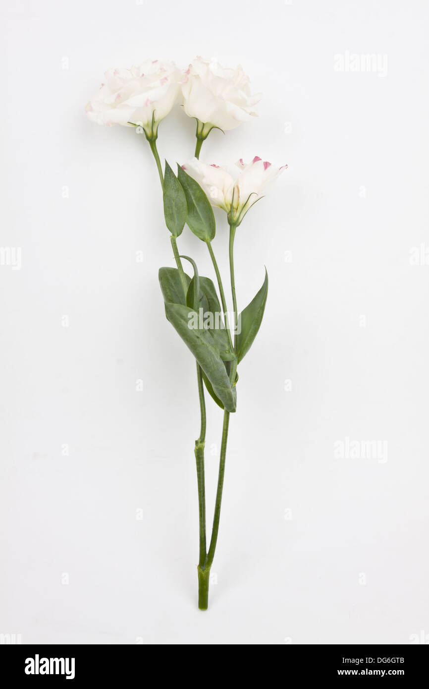 eustoma, a single white fresh flower on white background - Stock Image