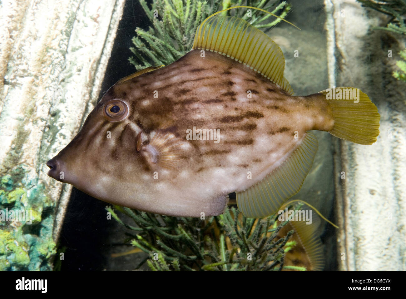 planehead filefish, stephanolepis hispidus - Stock Image