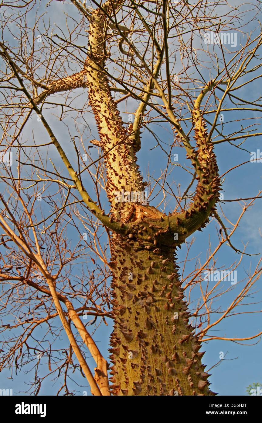 prickle tree - Stock Image