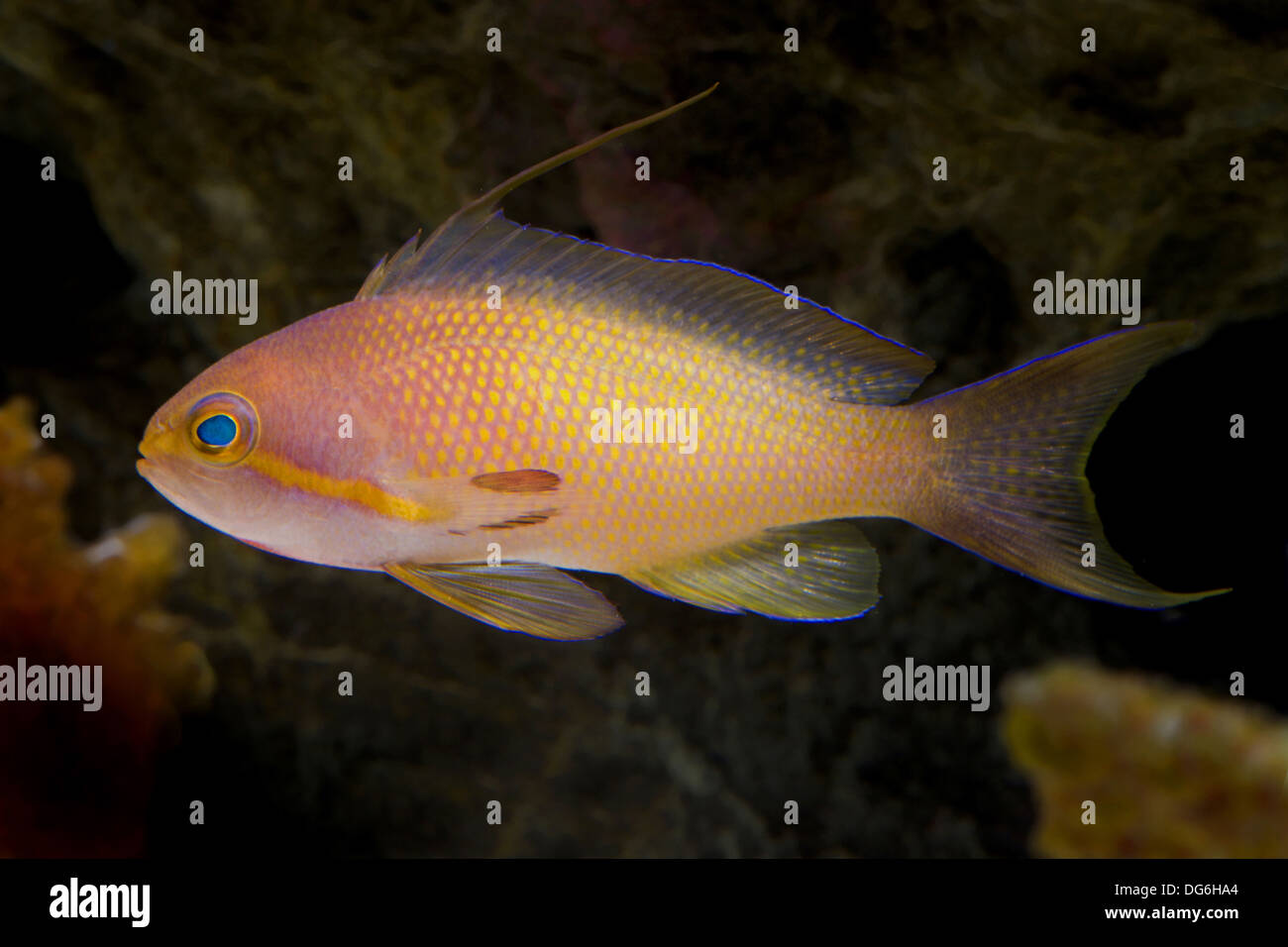 jewel lyretail anthia, pseudanthias squamipinnis - Stock Image
