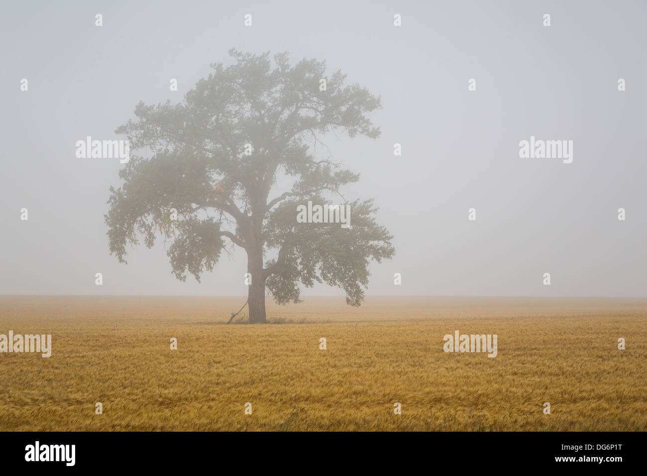 A lone tree in the fog with a ripe grain field near Linton, North Dakota, USA. - Stock Image