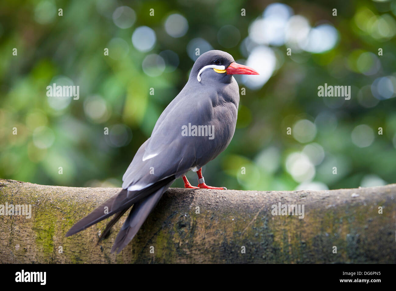 A healthy Inca Tern rests on a branch. These birds are native to Peru and Chili. Stock Photo