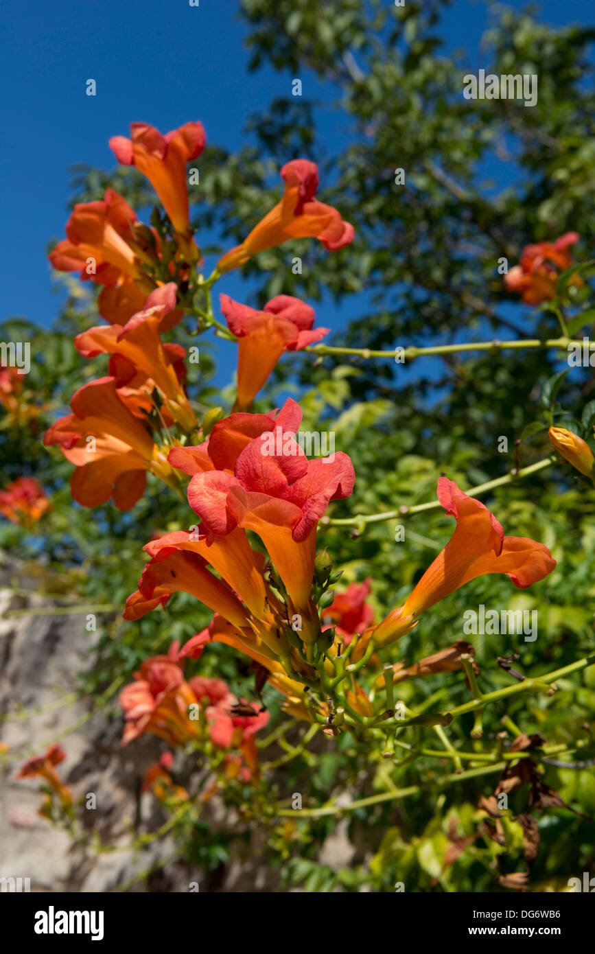 Trumpet creeper, Campsis radicans, flowering in a French garden - Stock Image
