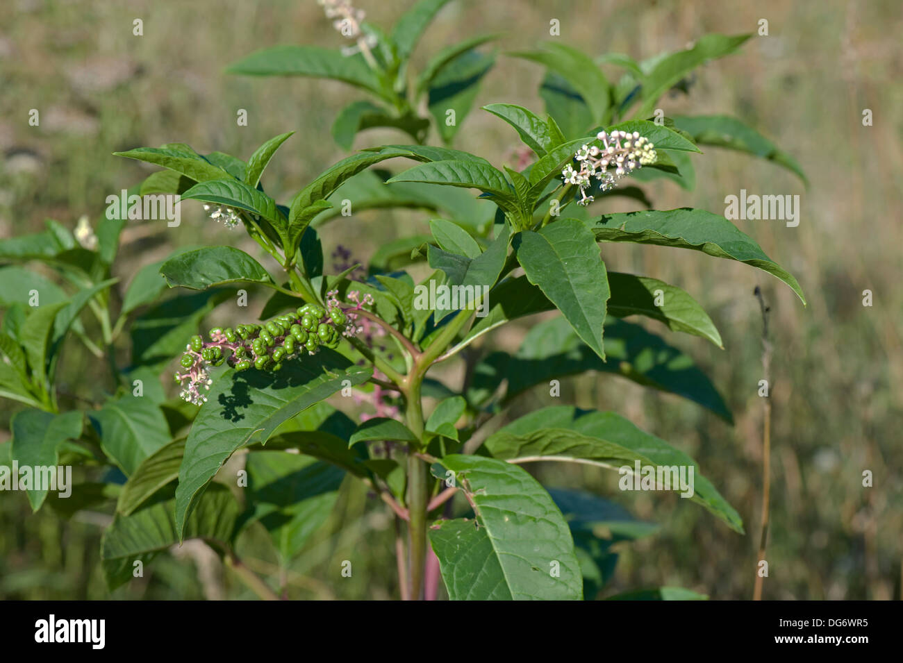 American pokeweed, Phytolacca americana, flowering and seeding plant - Stock Image